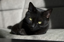 Close Up Portrait Of Black Cat On The Couch