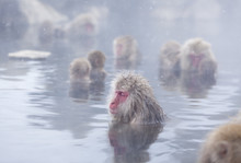 Snow Monkeys (Japanese Macaque...