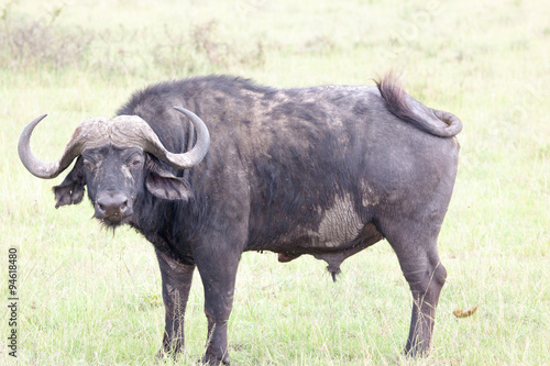 Staande foto Buffel African buffalo (Cape buffalo) on plain of Serengeti National Park, Tanzania,