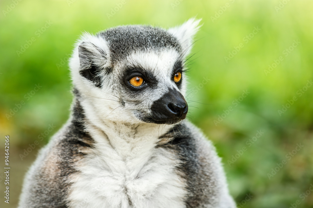 Fotografering  Lovely ring-tailed lemur face close up