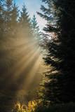 Fototapeta Na ścianę - Promienie słońca w lesie
