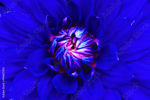 Poster de jardin Dahlia Dahlia flower closeup. Macro. Can be used in the design of the site and in printing. Also good for designers. Blue, pink.