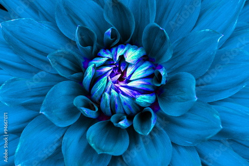 Poster de jardin Dahlia Dahlia flower closeup. Macro. Can be used in the design of the site and in printing. Also good for designers. Blue.