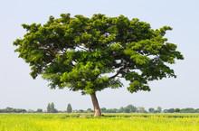 Mimosa Rain Tree.