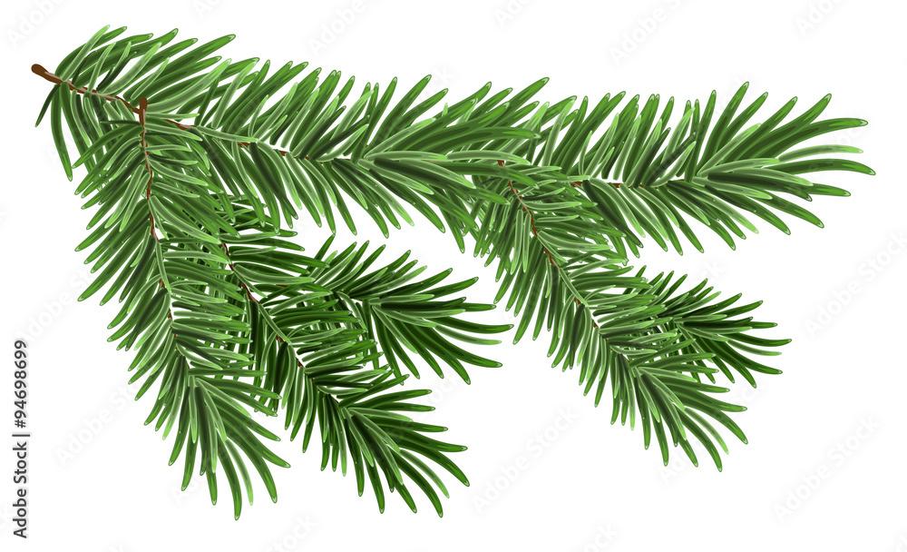 Fototapeta Green lush spruce branch. Fir branches