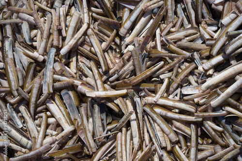 Razor Shells The razor shell, Ensis arcuatus, also called razor clam or razor fish, is a bivalve of the family Pharidae. It is found on sandy beaches in Northern Europe and Eastern Canada.