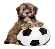 Cute Happy Havanese Puppy Dog ...