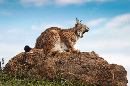 Foto auf Leinwand Luchs Lynx at liberty