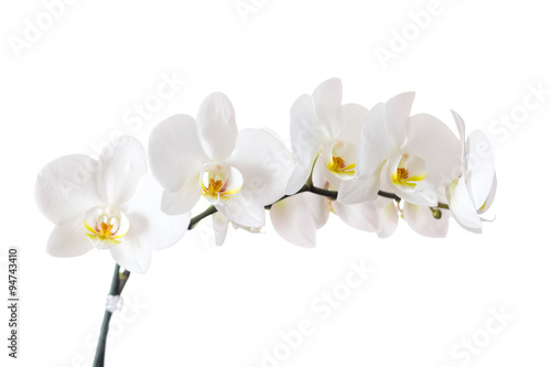 Poster Orchid white orchid