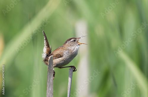 Fotografie, Obraz  Marsh Wren Singing, green background