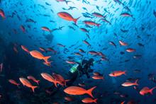 Vibrant Fish And Scuba Divers In Pacific