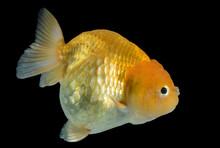 Macro Goldfish In Fish Tank