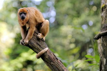 Black Howler Monkey On Top Of ...