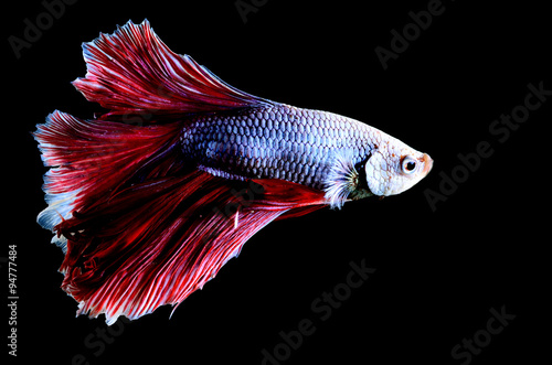 Capture the moving moment of white siamese fighting fish isolated on black background Poster