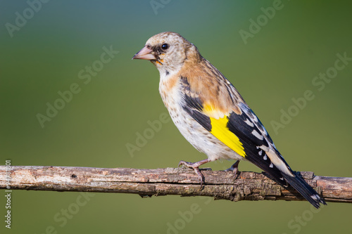 fototapeta na lodówkę The young Goldfinch