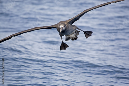 Valokuva  The Black-footed Albatross, Phoebastria nigripes gliding above the sea