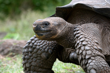 Galapagos Tortoise on the grass. General form. An excellent illustration.