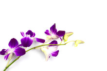 Purple Orchid On White Backgro...