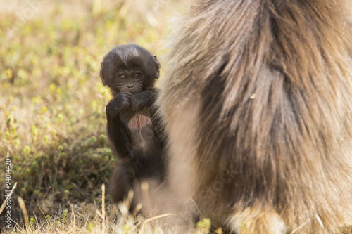 Photo  Baby Gelada Monkey hiding