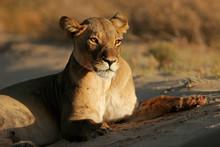 A Lioness (Panthera Leo) Lying Down In Early Morning Light, Kalahari Desert, South Africa.