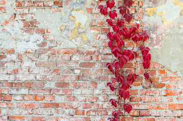 Fototapetabackground old brick wall with wild grapes