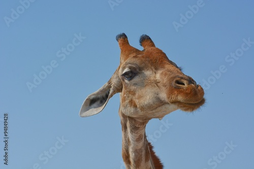 Poster Giraffe Portrait einer Steppengiraffe (giraffa camelopardalis) im Etosha Nationalpark