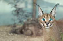 The Portrait Of Caracal