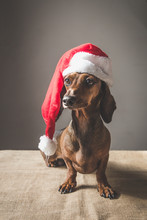 Christmas Miniature Dachshund Puppy Wearing Santa Claus Hat