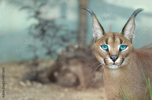 Staande foto Lynx The portrait of Caracal