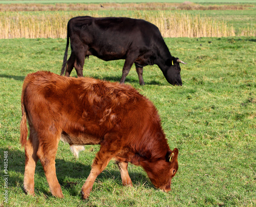 Photo  red calf on pasture.