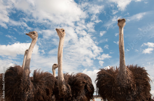 African ostriches