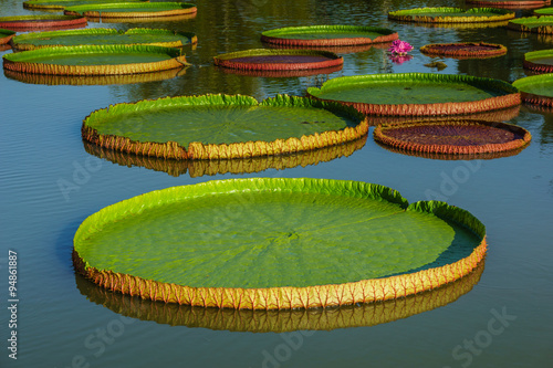 Poster de jardin Nénuphars Giant leaves of Victoria Regia, the largest water lily