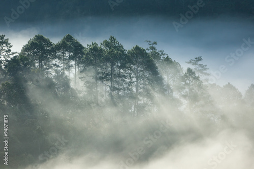 Fototapety, obrazy: Pine forest on high mountain