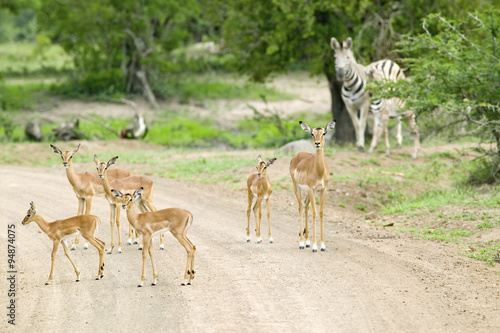 Fotografie, Tablou  Impala and Zebra on dusty road in Umfolozi Game Reserve, South Africa, establish