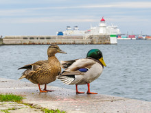 Pair Of Mallard Ducks With Blurred Background Old Beacon Of Malmo. Selective Focus