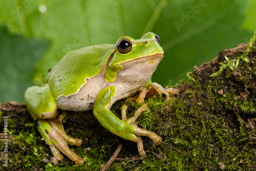 Tuinposter Kikker European green tree frog lurking for prey in natural environment