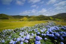 Flores,  Hydrangea Wild Field,...