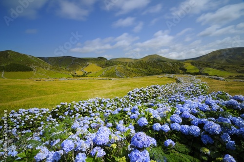 Fotomural Flores,  hydrangea wild field, azores, portugal