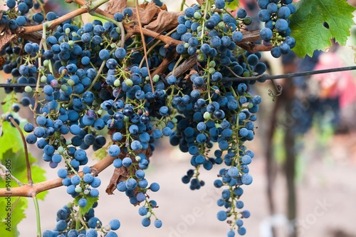Fotografie, Obraz  Bunch of red wine grape Cabernet Sauvignon in vineyard ready to harvest