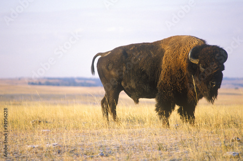 Deurstickers Buffel Buffalo grazing on range, Niobrara National wildlife Refuge, NE