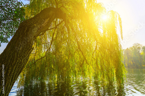 Poster Miel Branches of Willow Tree above Lake