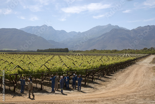 Foto op Plexiglas Zuid Afrika Workers tying vines in the Bergrivier region during springtime. South Africa