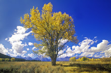Cottonwood Tree In Fall Colors, Grand Teton National Park, Jackson, WY