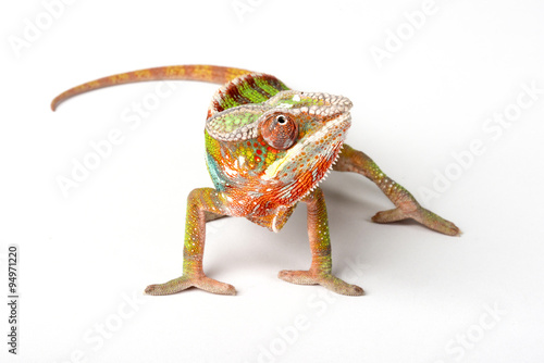 Photo sur Aluminium Cameleon Chameleon on a white background