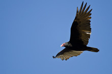 Turkey Vulture Flying In A Blu...