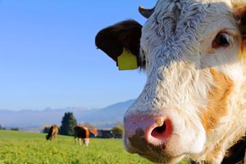 FototapetaJunge Simmentaler Rinder und Braunvieh auf der Weide
