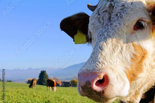Aluminium Prints Autumn Junge Simmentaler Rinder und Braunvieh auf der Weide