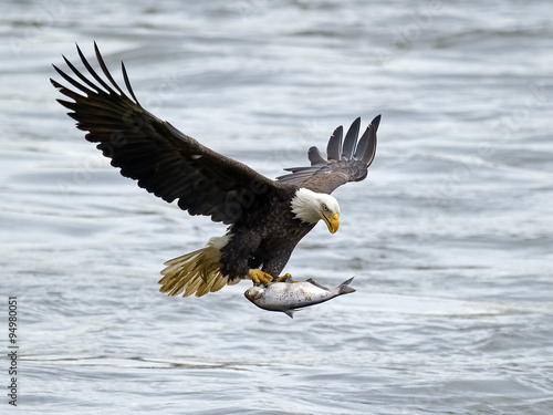 Spoed Foto op Canvas Eagle American Bald Eagle with Large Fish