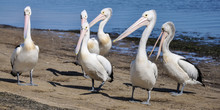 Pelicans On The Beach 2