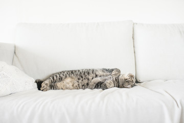 Tired tabby cat resting